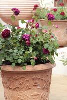 Burgundowe róże