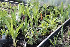Podrośnięte sadzonki, gotowe do posadzenia na miejsce stałe