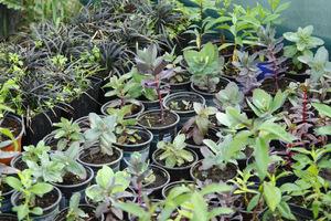 Rozchodniki to najlepsza roślina dla amatorów