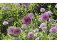 Sadź rośliny w podobnej tonacji kolorystycznej