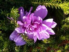 Colchicum odmiany 'Waterlily' - zimowit o pełnych kwiatach wyrasta we wrzoścach