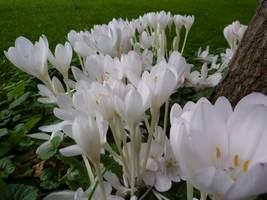 Białe zimowity otaczają pień drzewa