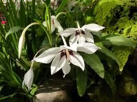 Ze względu na kształt kwiatów i kontrastowe zabarwienie, jest atrakcyjną rośliną