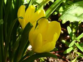 Sternbergia lutea - kwiat