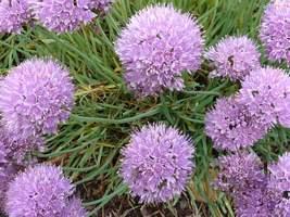 Allium senescens  (czosnek sinawy)