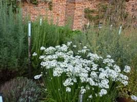 Allium tuberosum to silnie aromatyczna cebulowa bylina o białych kwiatach