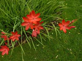 "Schizostylis coccinea ""Major"""