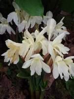 Roscoea cautleoides