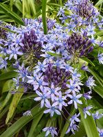 """Scilla peruviana """"Cuban Lily"""""""