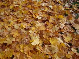 Przy takiej ilości liści nie da się skosić trawnika. Trzeba je najpierw zagrabić i zapakować do worków