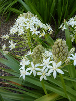 Scilla peruviana, odm. o białych kwiatach