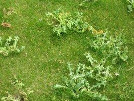 """Takich niespodzianek pozbywamy się z trawnika przy pomocy herbicydu selektywnego """"Bofix"""""""