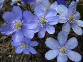 Kwitną przylaszczki (Hepatica)