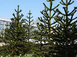 Araucaria araucana - araukaria chilijska, drzewo podatne na okresowe przemarznięcie. Młode egzemplarze lepiej uprawiać w donicach i przenosić na zimę w cieplejsze miejsce
