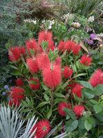 Callistemon citrinus (kuflik) ma kwiatostany podobne do szczotek do mycia butelek