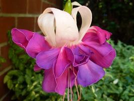 Fuchsia (fuksja, ułanka) ma kwiaty u większości gatunków zwisające na szypułkach, najczęściej w różnych odcieniach czerwieni i fioletu. W naturze są zapylane przez kolibry