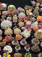 Dużą kolekcję małych kaktusów przenosimy ustawiając w misce po kilka sztuk. Uważajmy, aby się nie zranić