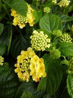 Lantana to pospolita roślina ozdobna w krajach o ciepłym klimacie
