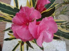 """Nerium oleander """"Variegatum"""""""
