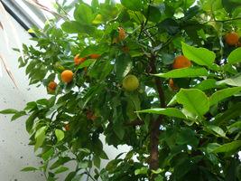 Citrus reticulata (mandarynka)