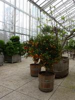 Rośliny cytrusowe, uprawiane w kubłach są dość ciężkie. Do szklarni przewieziono je przy pomocy odpowiedniego wózka