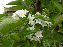 """Solanum jasminoides """"Album"""""""