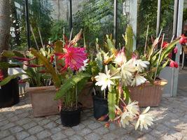 W przesionku szklarni (chłodniejszy) mogą zimować kaktusy