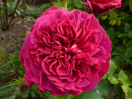 "Rosa ""William Shakespeare"""