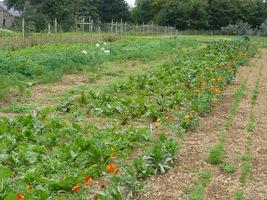 Uprawy współrzędne warzyw i nagietków lekarskich