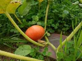 Aby owoce dyni nie gniły w miejscu zetknięcia z glebą, podłożono specjalne pokładki
