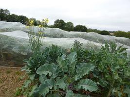 Pole brokułów, dla ochrony prze szkodnikami zostało okryte włókniną