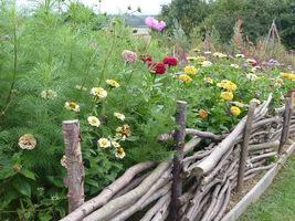Rustykalny płotek, a za nim kolorowe kwiaty z przewagą cynii i dalii