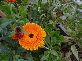 Calendula officinalis (nagietek lekarski)