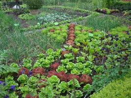 Teraz warzywa, niczym kwiaty, błyszczą na rabacie, rosną tutaj buraki, szczypiorek, sałaty różnego rodzaju