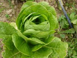 Jedna z odmian sałaty