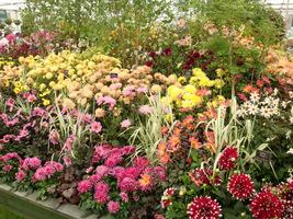 Ekspozycja hodowcy dalii na Chelsea Flower Show 2010