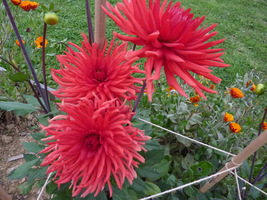 Dalia o kwiatach kaktusowych
