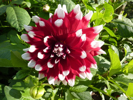 Kwiaty dwubarwne
