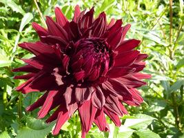 Kwiaty prawie czarne