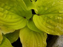 Hosta o żółtych liściach