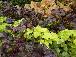 Heuchera w różnych tonacjach kolorystycznych zastosowana w jednym ogrodzie, tworzy barwne pasy