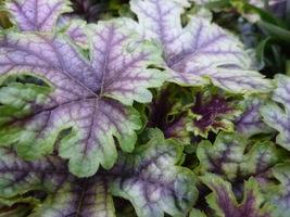 Bogate unerwienie liści i powycinane brzegi czynią z tej odmiany efektowną ozdobę rabaty