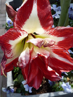 Wyróżniamy pięć typów kwiatów, ten jest pełny