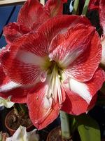 Niektóre kwiaty mają wzory na wszystkich sześciu płatkach