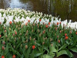 Późniejsze tulipany zakwitną pod koniec kwietnia