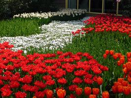 Anemony i tulipany wczesne i późne