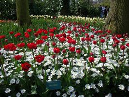 "Tulipan ""Red Nova"" i Anemone blanda ""White Splendour"""
