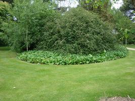 Bergenie jako rama dla okazałego krzewu w trawniku