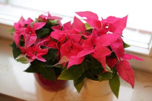 Śliczna odmiana o kwiatach różowych, fot. Michał Młoźniak