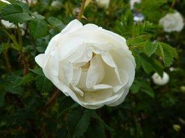 "Rosa pimpinellifolia ""Double White"""